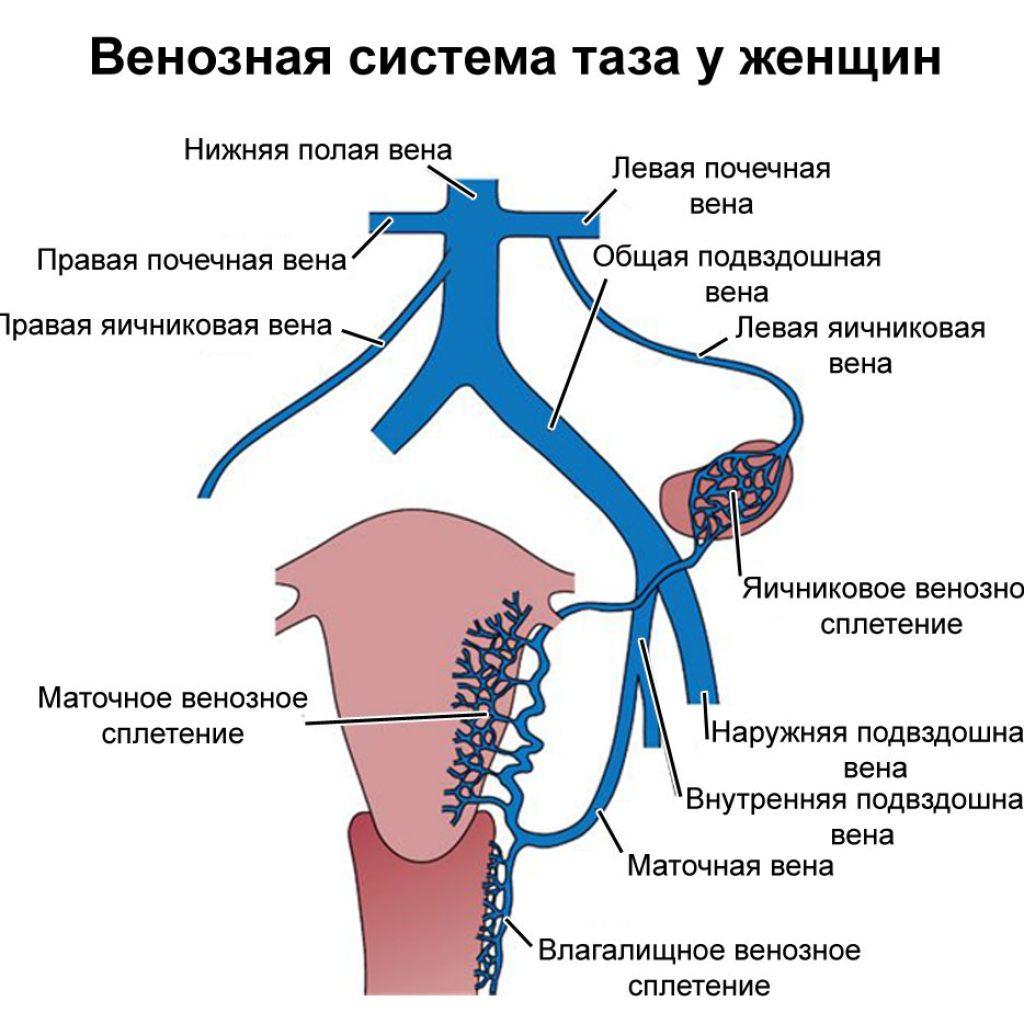 венозная система