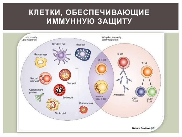 Клетки иммунной защиты организма