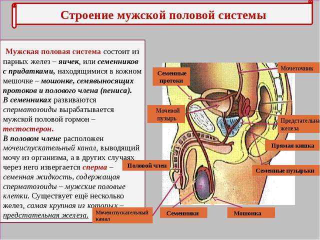Мочеполовая система мужчины