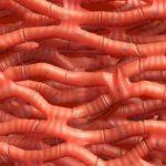 Сердечная мышца (миокард)