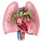 Тромб касается стенки легочной артерии