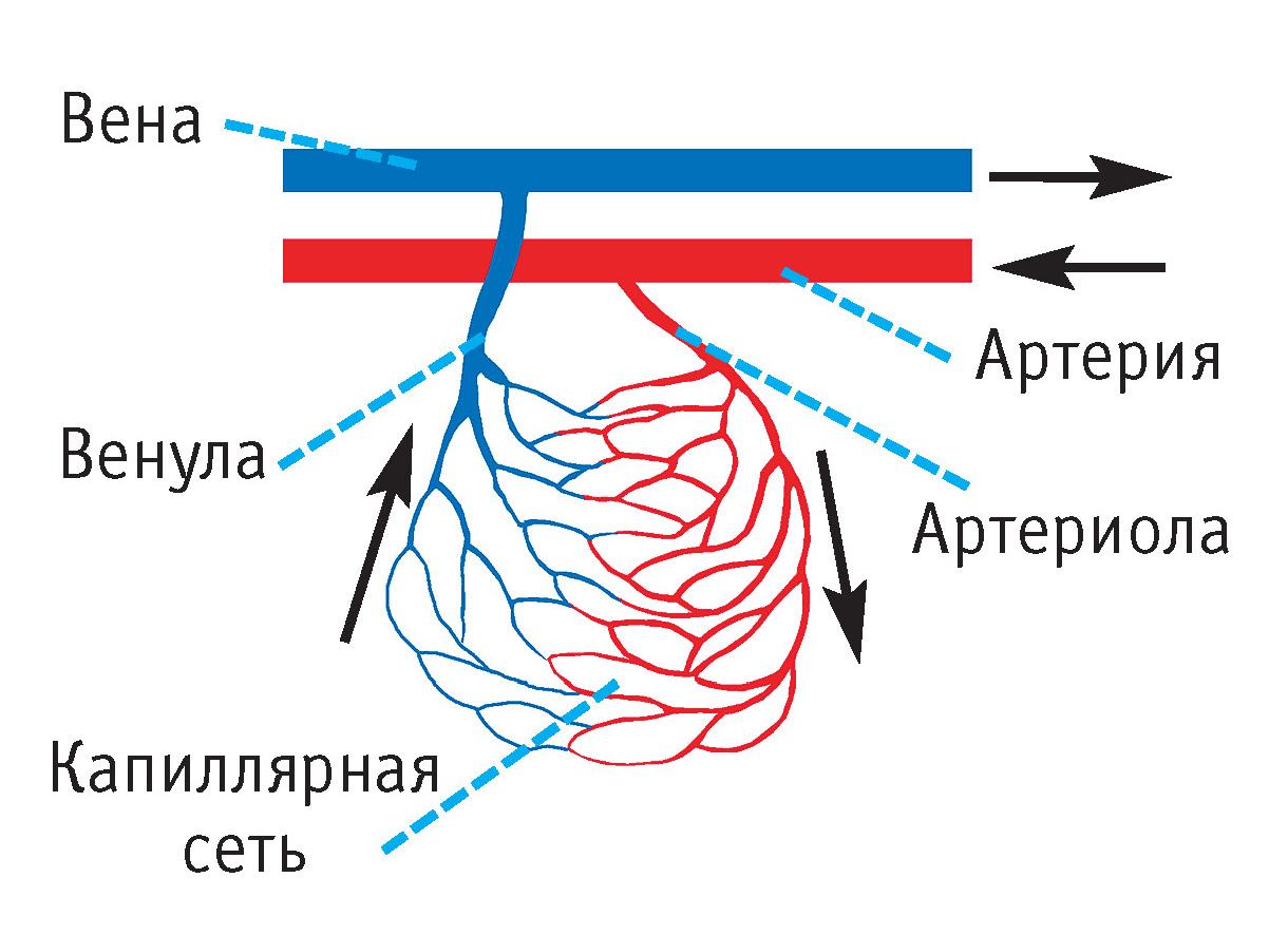 отличается венозная кровь от артериальной