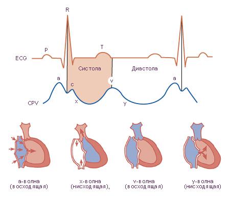 центральное венозное давление