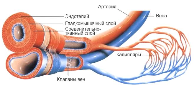 капилляры, вены и артерии