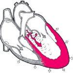 кардиопульмонального рефлекса