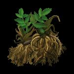 корневищ валерианы
