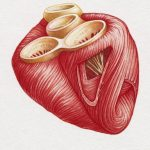 сердечной мышцы,