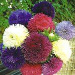 цветов астрагала,